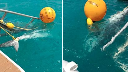 Culling of tiger sharks sparks heated debate