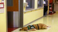 Perros entrenados detectan crisis epilépticas incluso una hora antes de que ocurran