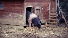Si è buttata dal camion che la portava al macello: la storia a lieto fine della maialina Siena