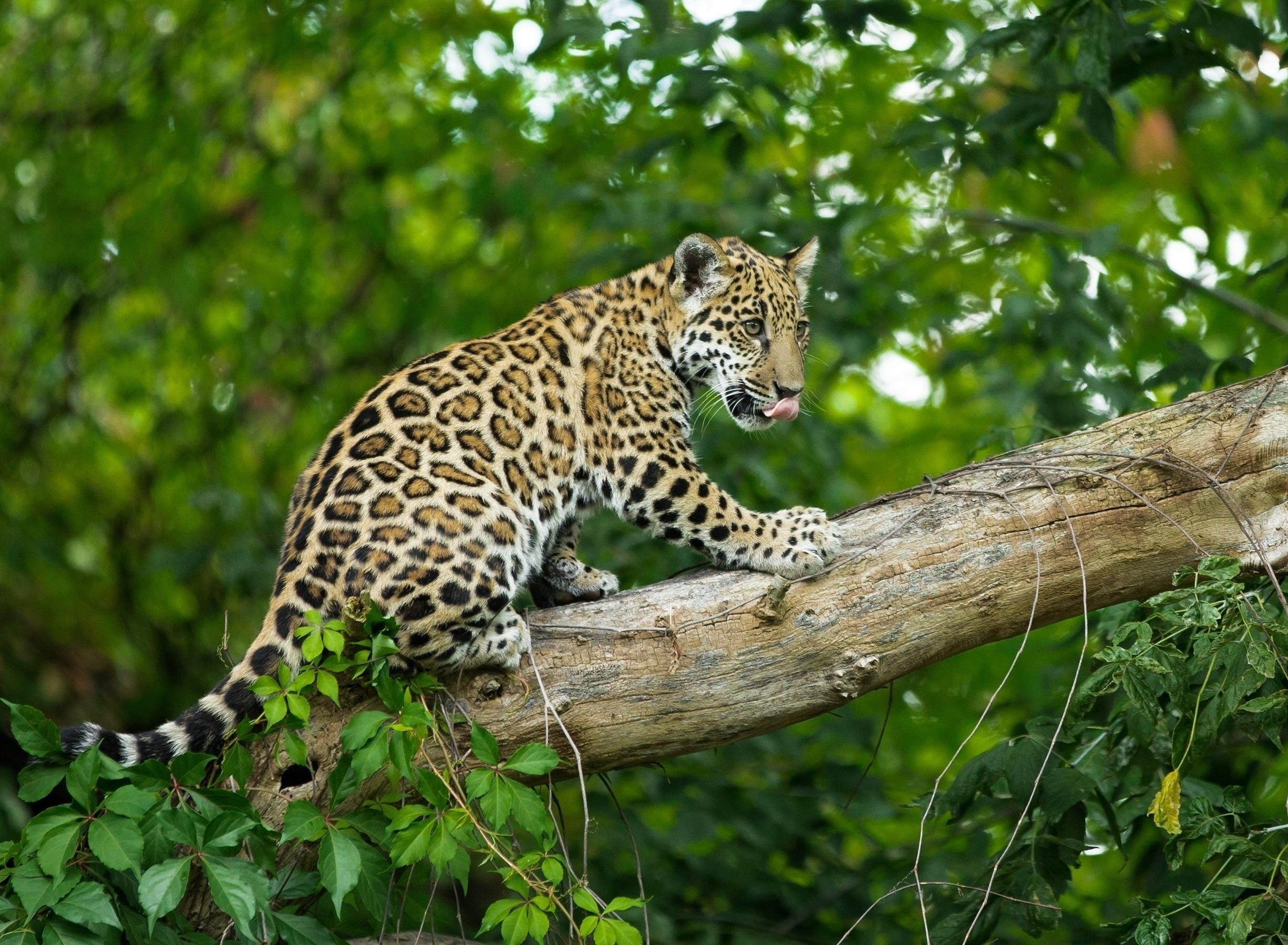 A young leopard kitten walks down a sloping tree