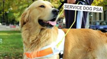 If a service dog approaches you without its owner, this is what to do