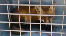Police Rescue Fox Cub Trapped at Construction Site
