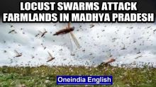 Locust swarms attack farmlands in Madhya Pradesh, farmers worried: watch