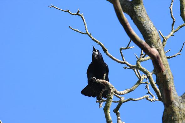 """<p> """"One of the earliest and finest signs of spring is a rook with nest building material held in its beak. You can spot a rookery in the tree tops or in old houses across Britain, with eggs appearing around early March,"""" says Matthew.</p> <p class=""""p1""""> <strong>Top rook-spotting territory:</strong> Tattershall Castle, Lincolnshire.Rookery building in the trees at Tattershall means visitors who make the climb to the top of the castle keep can enjoy spectacular local views and down into the nests below too.</p> <p class=""""p1""""> <strong>Other great places to see a rookery:</strong>Tyntesfield, Bristol;Fyne Court, Bridgwater;Crook Peak, Somerset</p>"""