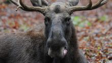 Drone causes 1,500 elk to stampede for half a mile