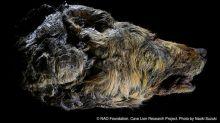 Encuentran la cabeza de un lobo gigante prehistórico en magnífico estado de conservación