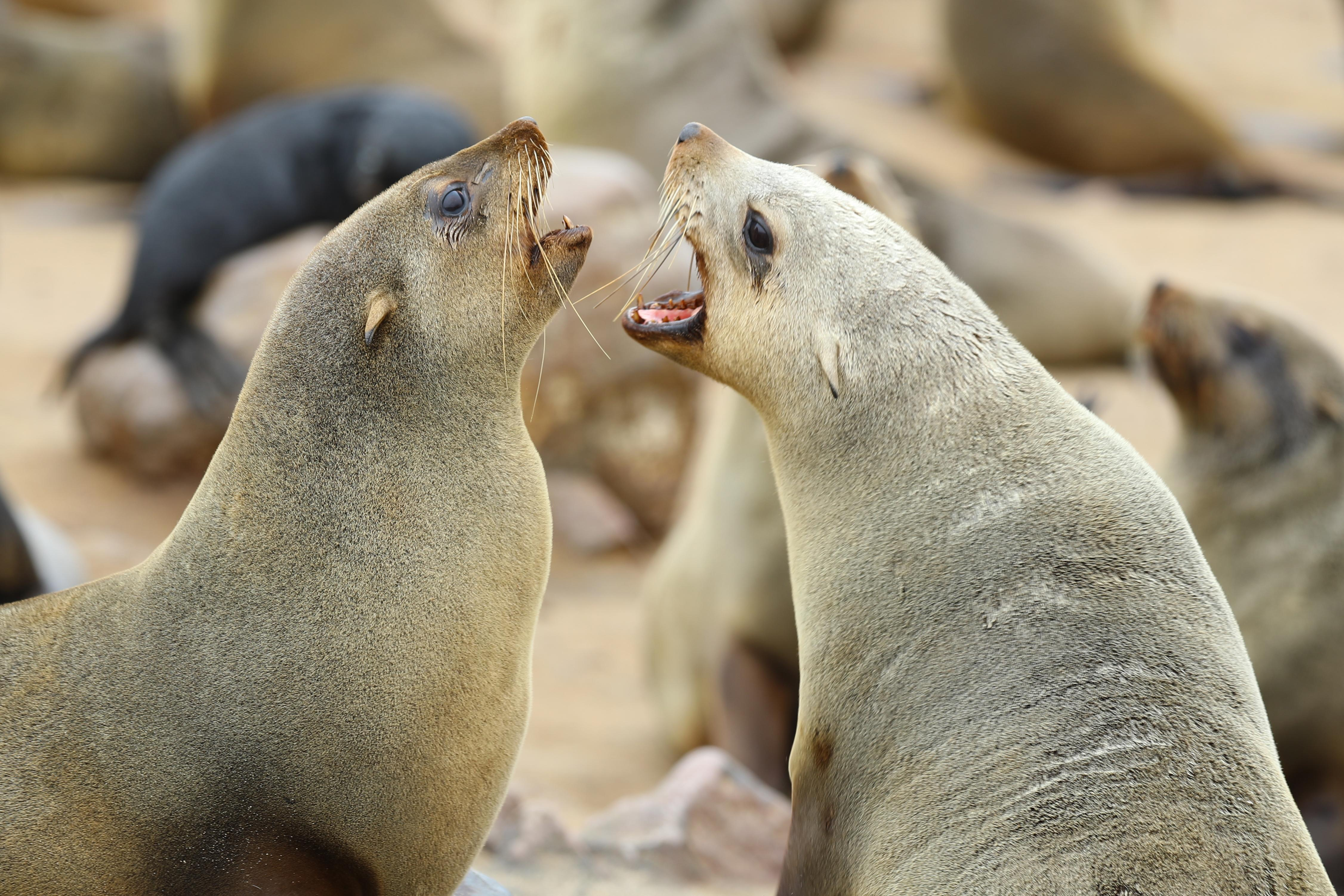 <p>Two Cape fur seals fight over territory on the shores of the Cape Cross Seal Reserve in Namibia. (Photo: Gordon Donovan/Yahoo News) </p>