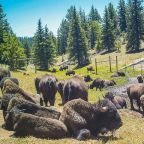 Tens of thousands of people apply for 12 slots to hunt bison in Grand Canyon