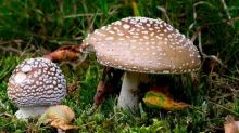 10 poisonous mushrooms to watch out for in Britain