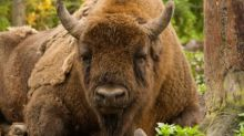 Wanted: UK bison rangers, no previous experience expected