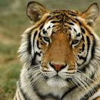 39 Tigers From Joe Exotic's Zoo Now Live At A Colorado Sanctuary