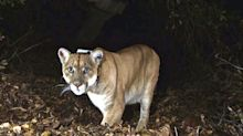 Two Mountain Lions Euthanised After Boy, 8, Is Bitten On The Head In Colorado