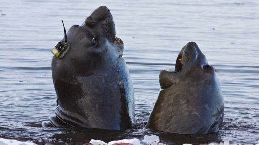 With tiny hats, elephant seals help researchers study Antarctica's melting ice