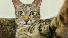 Los gatos son más expresivos de lo que creemos
