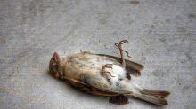 Rätselhaftes Vogel-Massensterben in den USA
