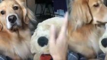 No aguantó ver a su dueña acariciar a un muñeco de peluche... y su reacción se viralizó