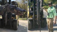 Shocking find inside 3.6m alligator killed by hunter