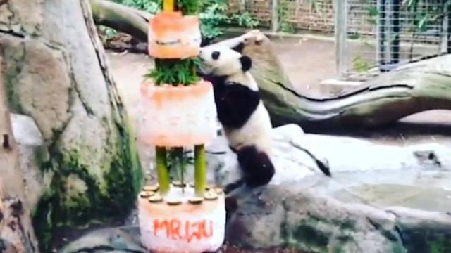 San Diego Zoo's panda cub celebrates 1st birthday