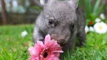 Orphaned Wombat Joey Always Takes Time to Smell the Flowers