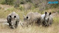 Rangers Protect Three of the Last Remaining Northern White Rhinos in the World