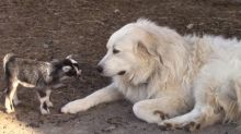 Responsible Dog Happily Babysits Tiny Baby Goats