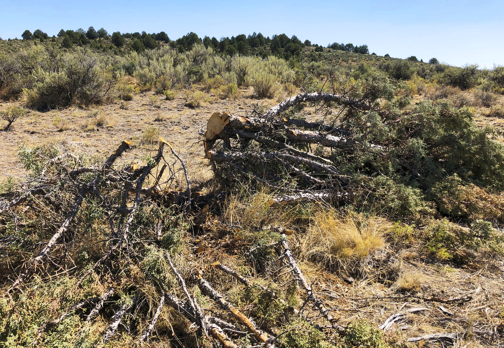 Massive juniper tree-cutting project aims to aid sage grouse