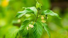 Health Secrets of Ayurveda #8: Gurmar or Madhunashini