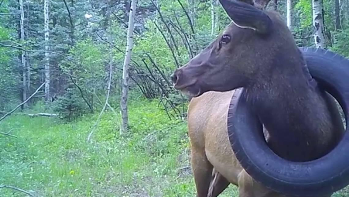 A 600-pound elk lived stuck in a tire for nearly half its life, Colorado officials say