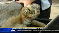 SeaWorld releases green sea turtle back into the ocean