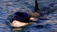 Von Mutter getrenntes Orca-Junges in Neuseeland gestorben