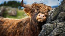 Stier sorgt wegen juckendem Hintern für Stromausfall im ganzen Dorf