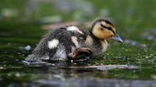 Abused duckling rescued from lake, given permanent home