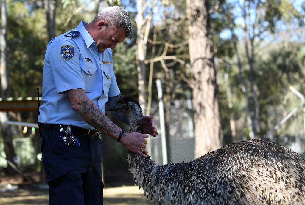 Officer Ian Mitchell handles an emu inside an enclosure at John Morony Correctional Complex Wildlife Centre outside Sydney. (AFP Photo/SAEED KHAN)