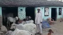 Alwar: Mob snatches 51 cows from Muslim family, donates them to gaushala