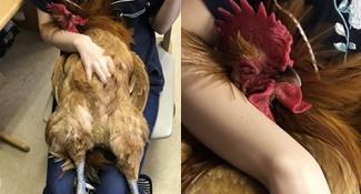 忘了自己是雞?爽躺大腿全笑倒