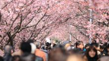 日本氣象網2020櫻花開花、滿開預想日發表 趁早買機票擬定賞櫻之旅