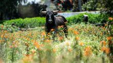 Pandemic halts bullfighting where animal rights activists couldn't
