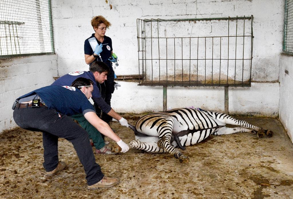 The animals were tranquillised to allow them to be safely transferred to Tirana zoo where they will recover from their ordeal (AFP Photo/Gent SHKULLAKU)