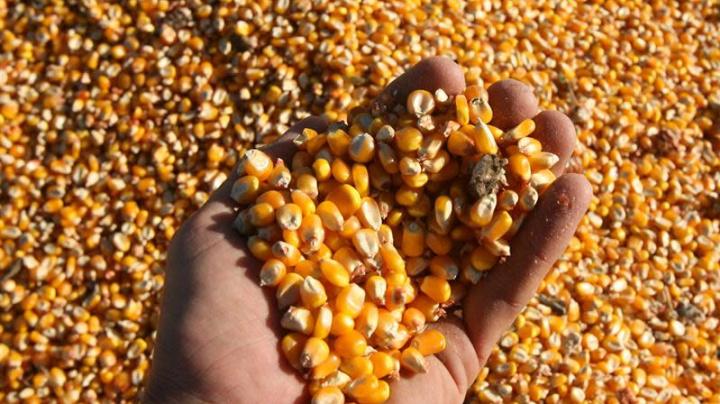 Argentina podría exportar 7.960 millones de dólares de una nueva cosecha de maíz