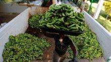 Colombia maintains banana output despite coronavirus, Panama disease outbreaks