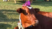 Couple throws rescue cow a special 1st birthday party