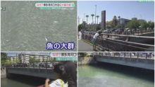【有片】釣魚的人有福了 博多灣河口大量魚聚集浮面