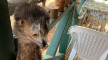 Emus banned from hotel in Australia for 'bad behaviour'