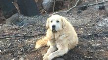 Hund überlebt Waldbrand in Kalifornien –so hat er es geschafft