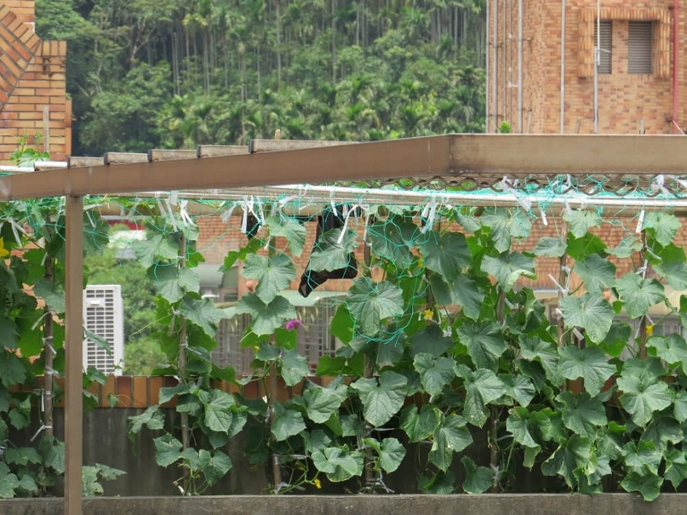 在頂樓種菜好處多,兼具遮陽、採收雙效益。