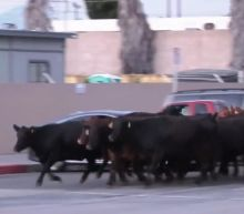 Videos show a herd of cows stampeding through Los Angeles as people try to lasso them after they broke free from a nearby slaughterhouse