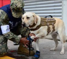 Mexico City earthquake: Rescue Dog who has saved 52 lives launches into searching rubble for trapped victims
