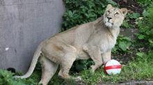 Leones del zoo de Londres rugen a favor del equipo inglés en el Mundial