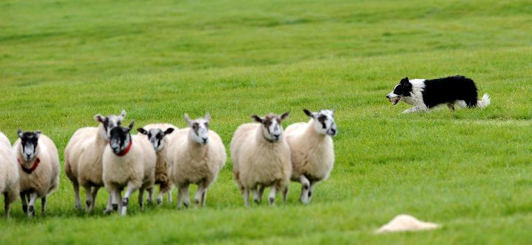 A sheepdog herds a flock in Lowther, northwest England, on September 13, 2009