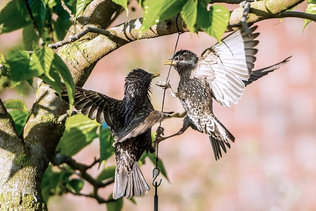 Male starlings are more aggressive towards females who had been given small doses of prozac, researchers found